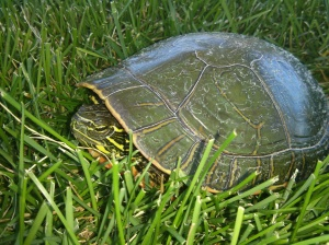 Our new friend chilling in the grass at our nearby park.